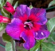 Adenium Obesum Desert Rose 'Kaleidoscope' 5 Fresh Seeds